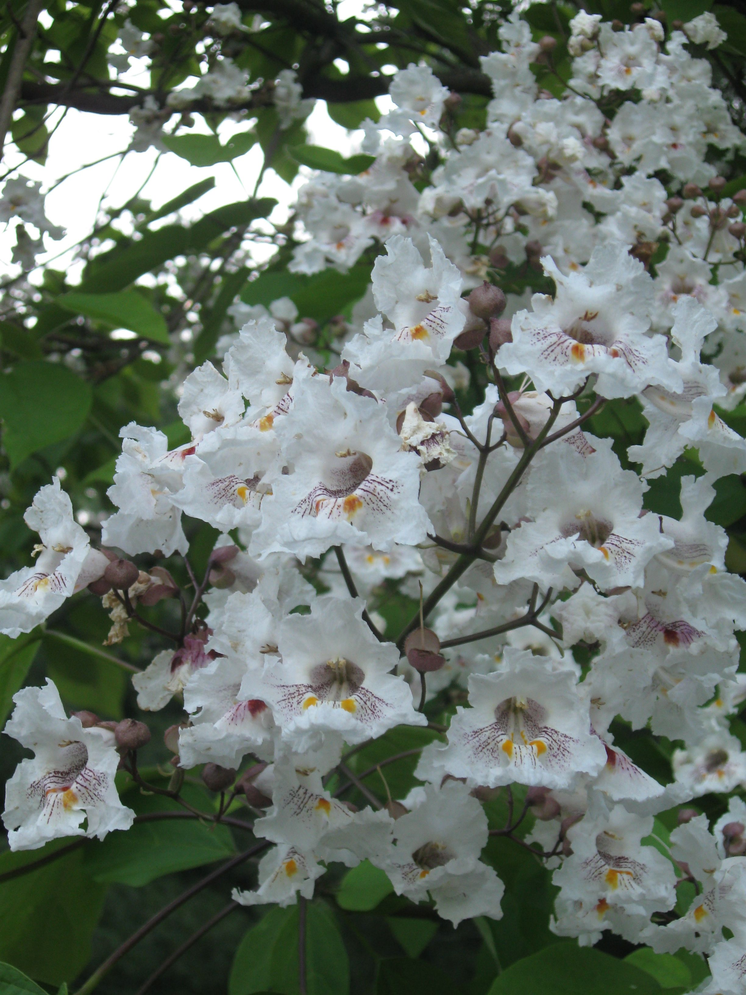 Catalpa Tree Blossoms