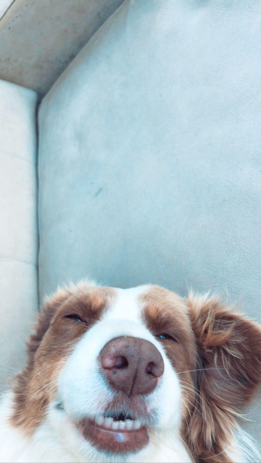 Dog Animal Border Collie Cute Puppy Aesthetic Tumblr