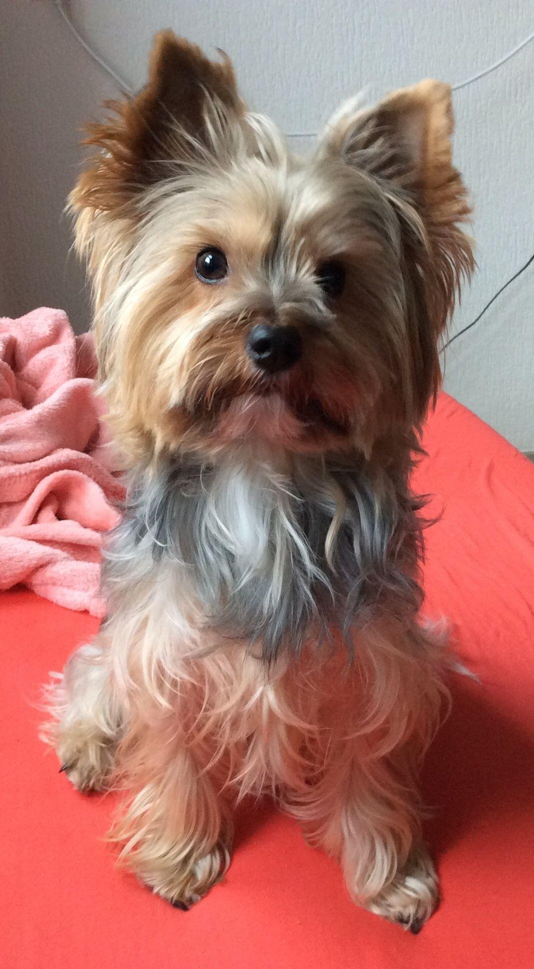 Love the haircut yorkshireterrier Yorkshire terrier