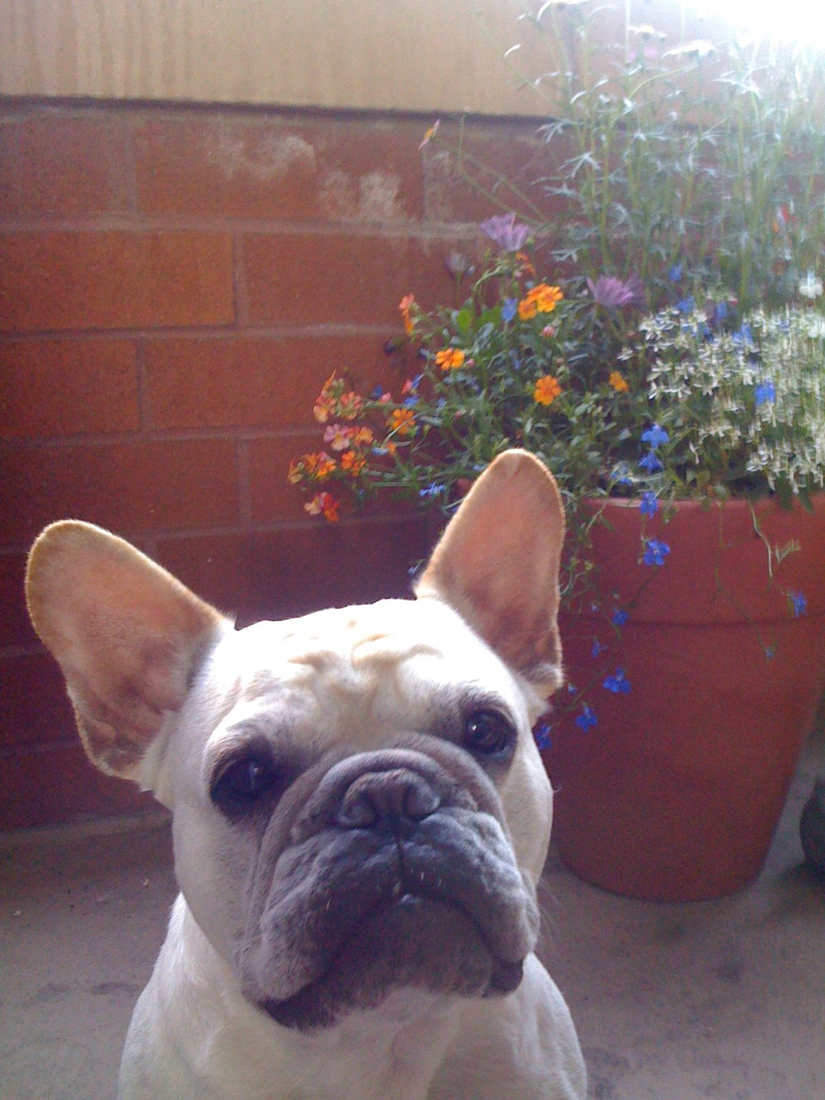 on the patio (With images) French bulldog, Bulldog, Frenchie