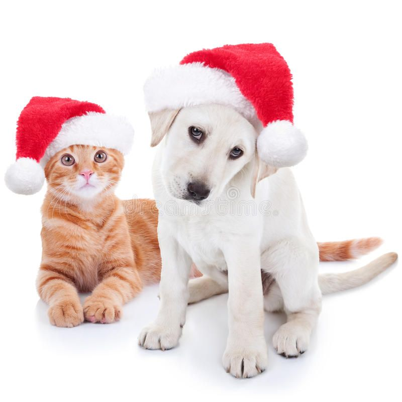 Christmas Pets Dog And Cat Cute Christmas Pet Labrador Dog And Cat On White Sponsored Cat C Christmas Animals Christmas Photoshoot Cute Animal Pictures