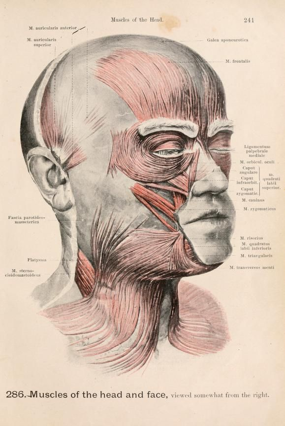 286. Muscles of the head and face, viewed somewhat from the right ...