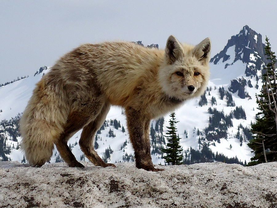 Cascade Red Fox at Mt Rainier National Park - begging for food.