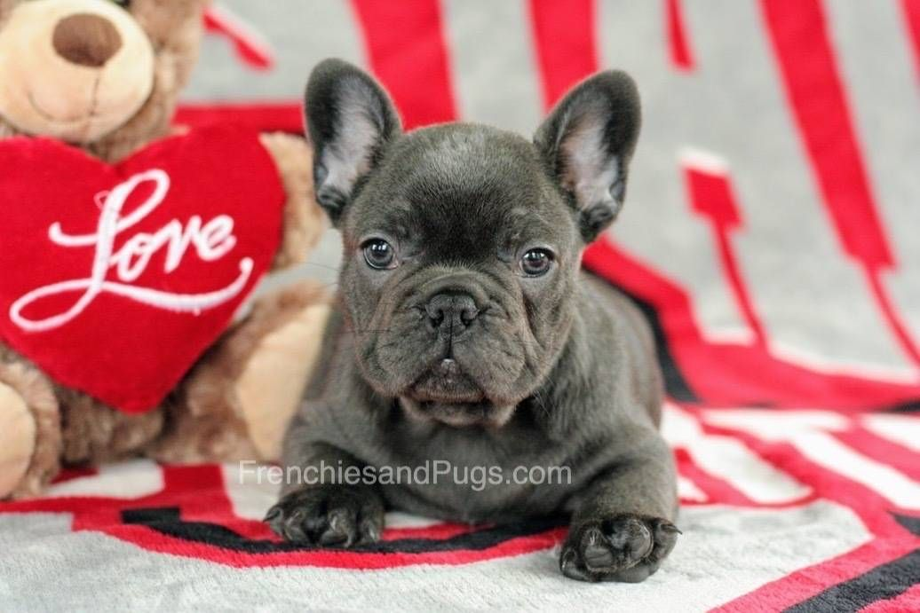We Offer High Breed French Bulldog Puppies In Ohio We Ensure To