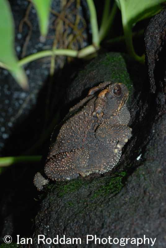 Cane Toad, Bufo marina, a problem invasive species.