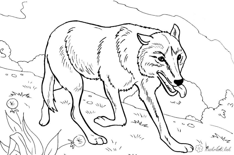 Раскраска, раскраска животные, дикие животные, волк ...