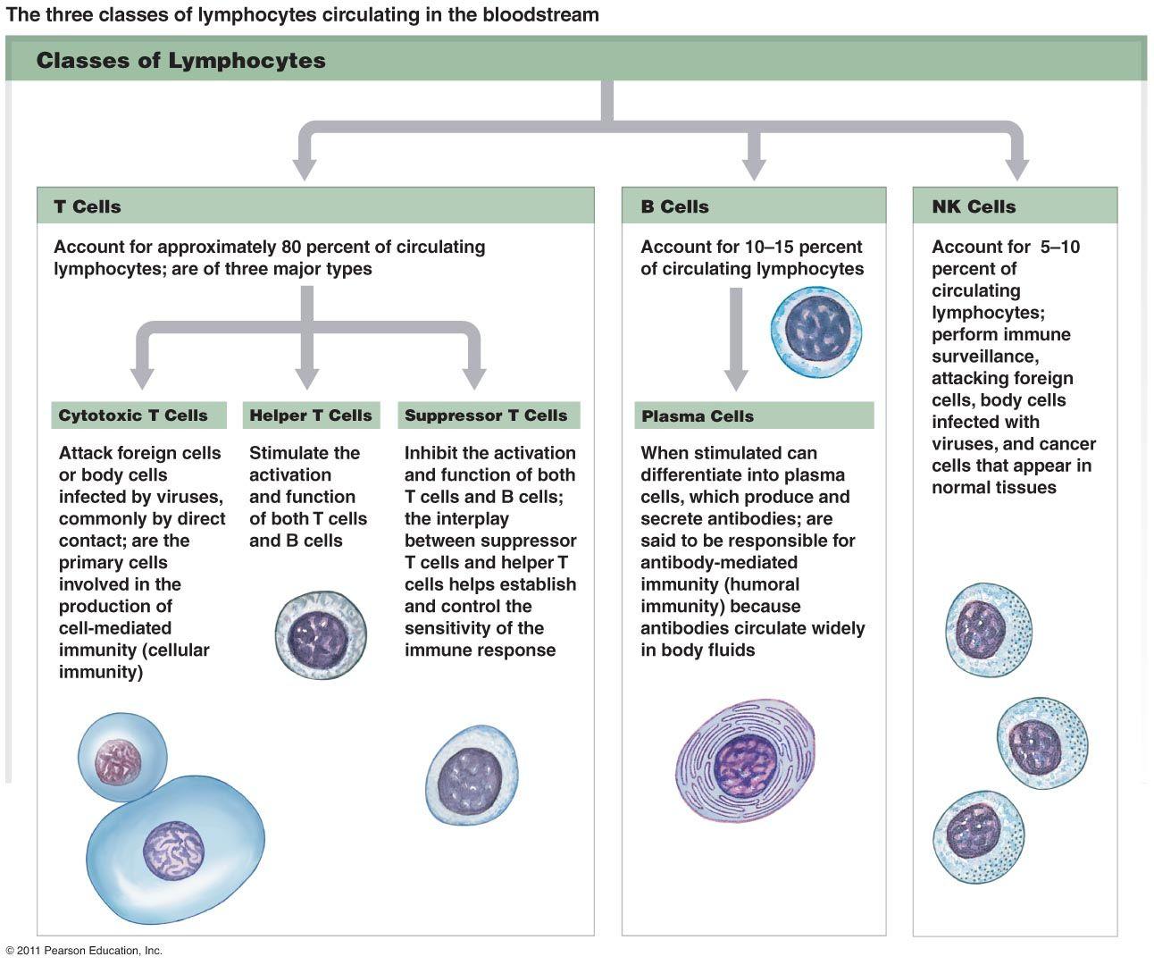 Lymphocytes Diagram Google Search Immunology Pinterest