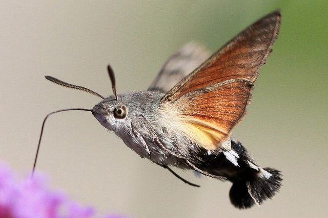 Hummingbird Hawk-moth (Macroglossum stellatarum) Is it a bird? Is it a bee? Is it a butterfly? NO!!! IT'S THE HUMMINGBIRD HAWK-MOTH!