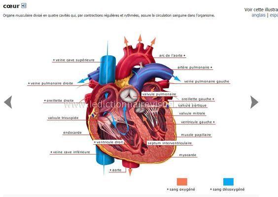 Schéma du coeur   aide soignante   Pinterest
