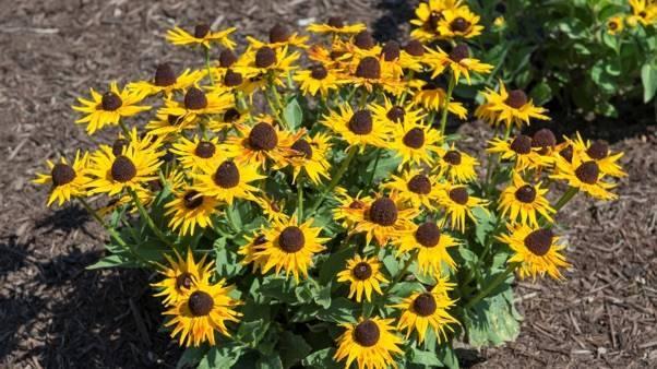 How To Grow Black Eyed Susans In 2021 Black Eyed Susan Pollinator Garden Cool Plants