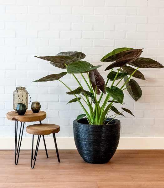 Grote kamerplant in grote plantenbak croco look pracht for Grote kamerplanten