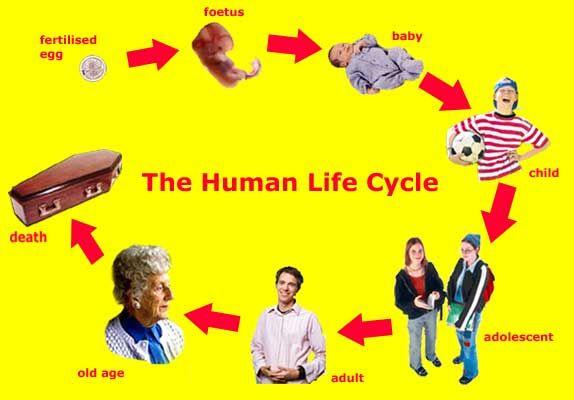 Human Life Cycle Life Cycles Animal Life Cycles