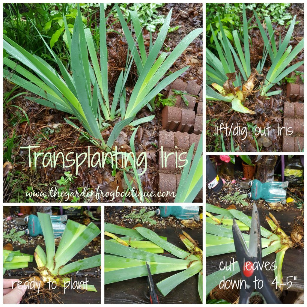 How To Plant Iris Transplanting Iris Iris Flowers Garden Bulbous Plants Growing Irises
