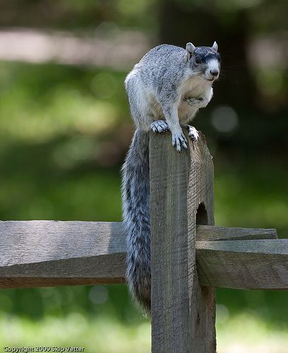 Long Tail | Squirrels are funny people! | Fox squirrel