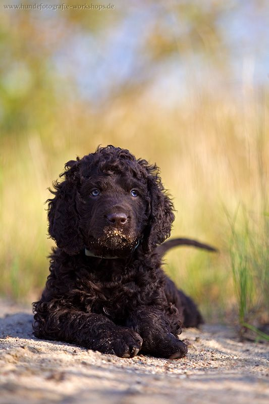 Irish Water Spaniel Welpe
