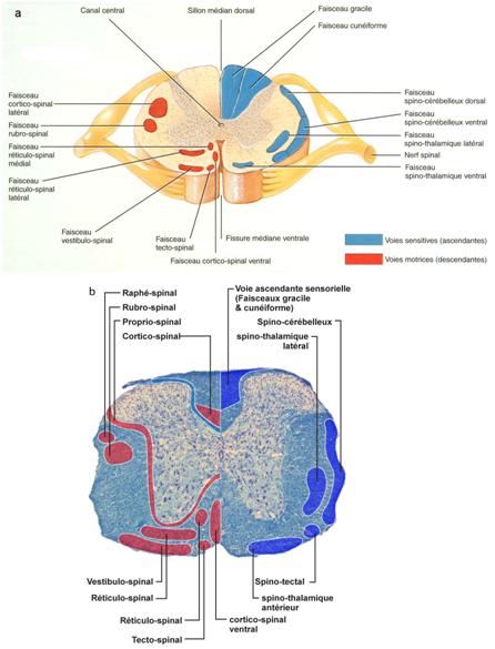 Figure 1 4 localisation de quelques faisceaux sensitifs - Coupe transversale de moelle epiniere ...