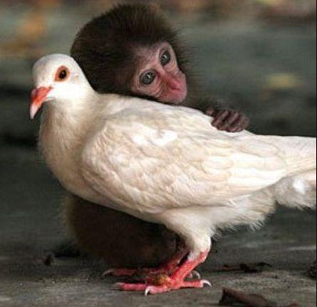 Monkey and dove  #animalfriendships  #interspecieslove