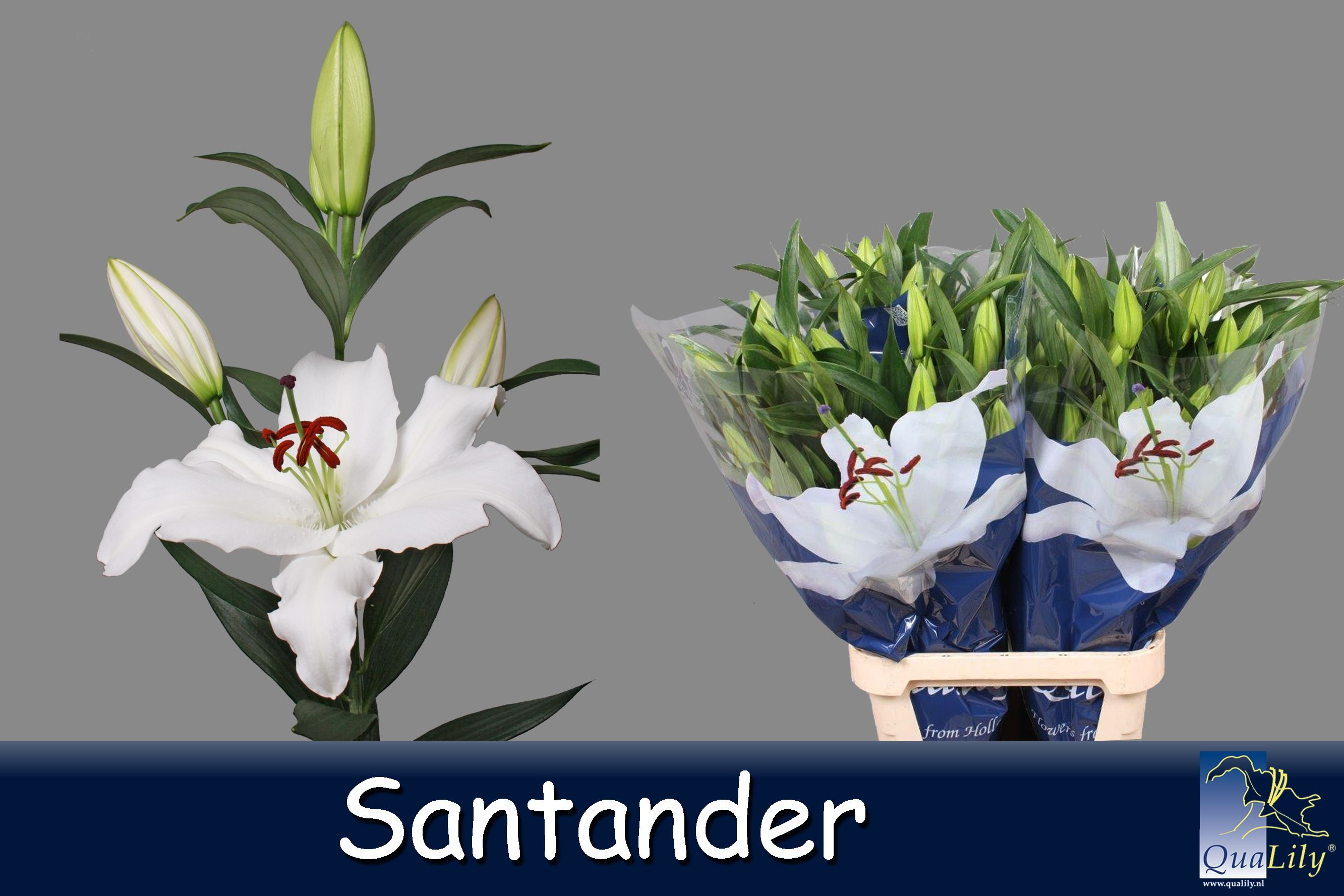Qualily lelie wit photos of our lilys we use on the qualily lelie wit izmirmasajfo
