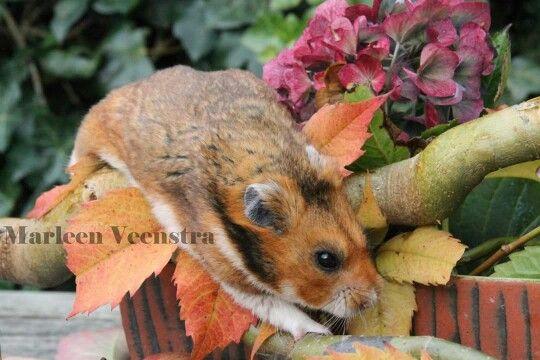 Syrian Hamster Goudhamster Gold Black Eyed Shorthair Male