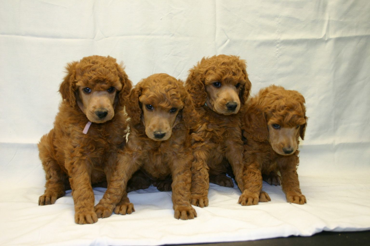 Windsong Working Poodles Litter Plans There Are No Plans For