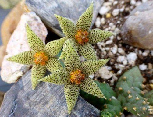 Hermosas m gicas y misteriosas flores de suculentas for Vivero de plantas exoticas