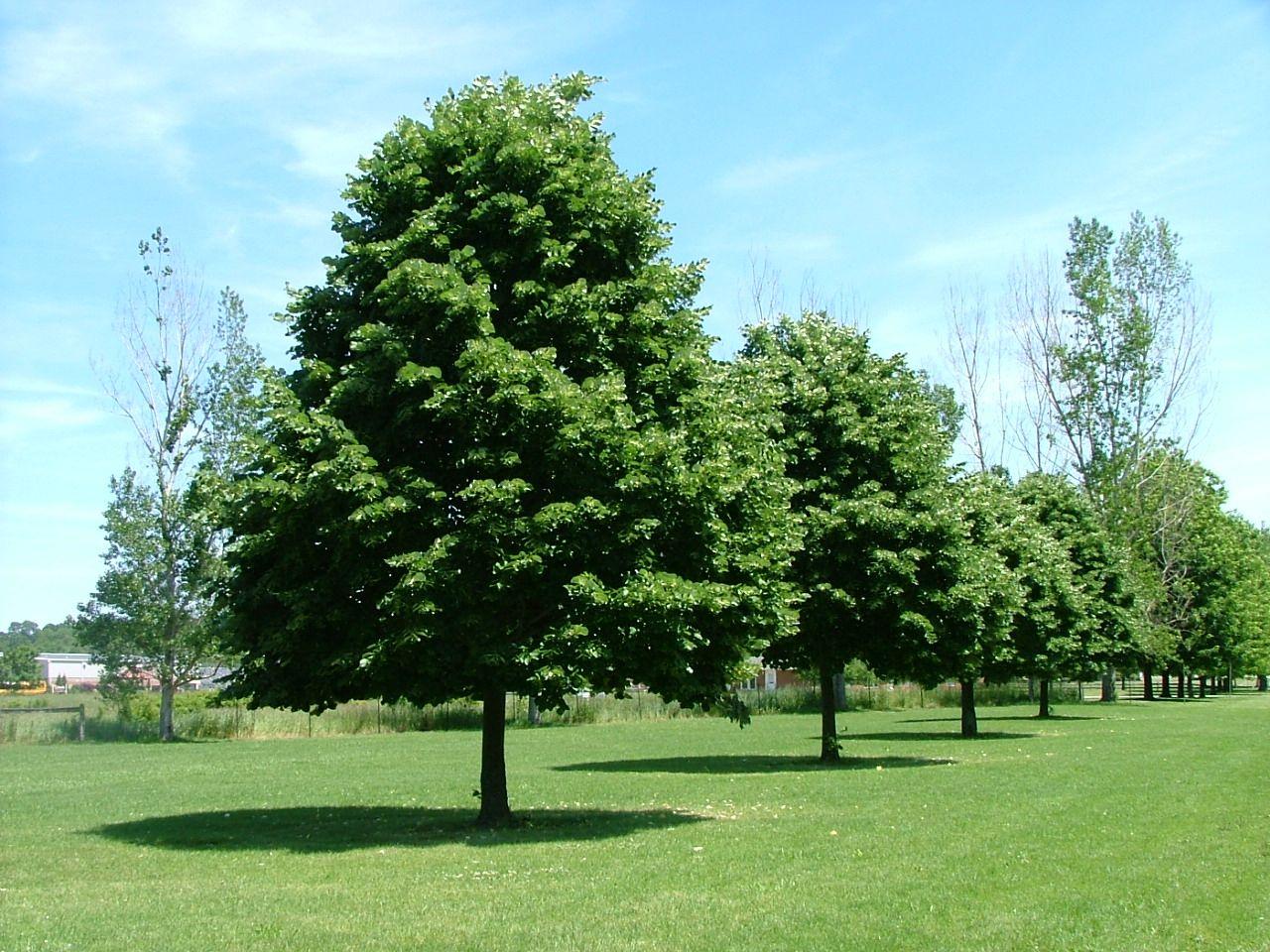 greenspire linden trees medium and large pinterest