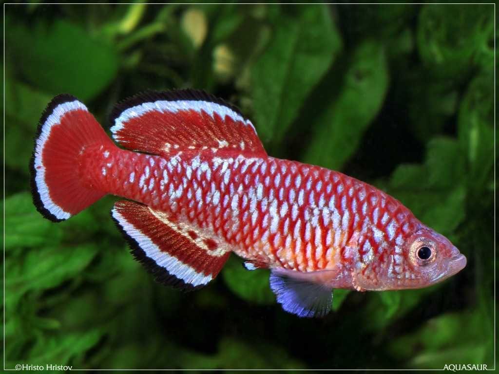 Nothobranchius rubroreticulatus, an attractive peat-spawning killie ...