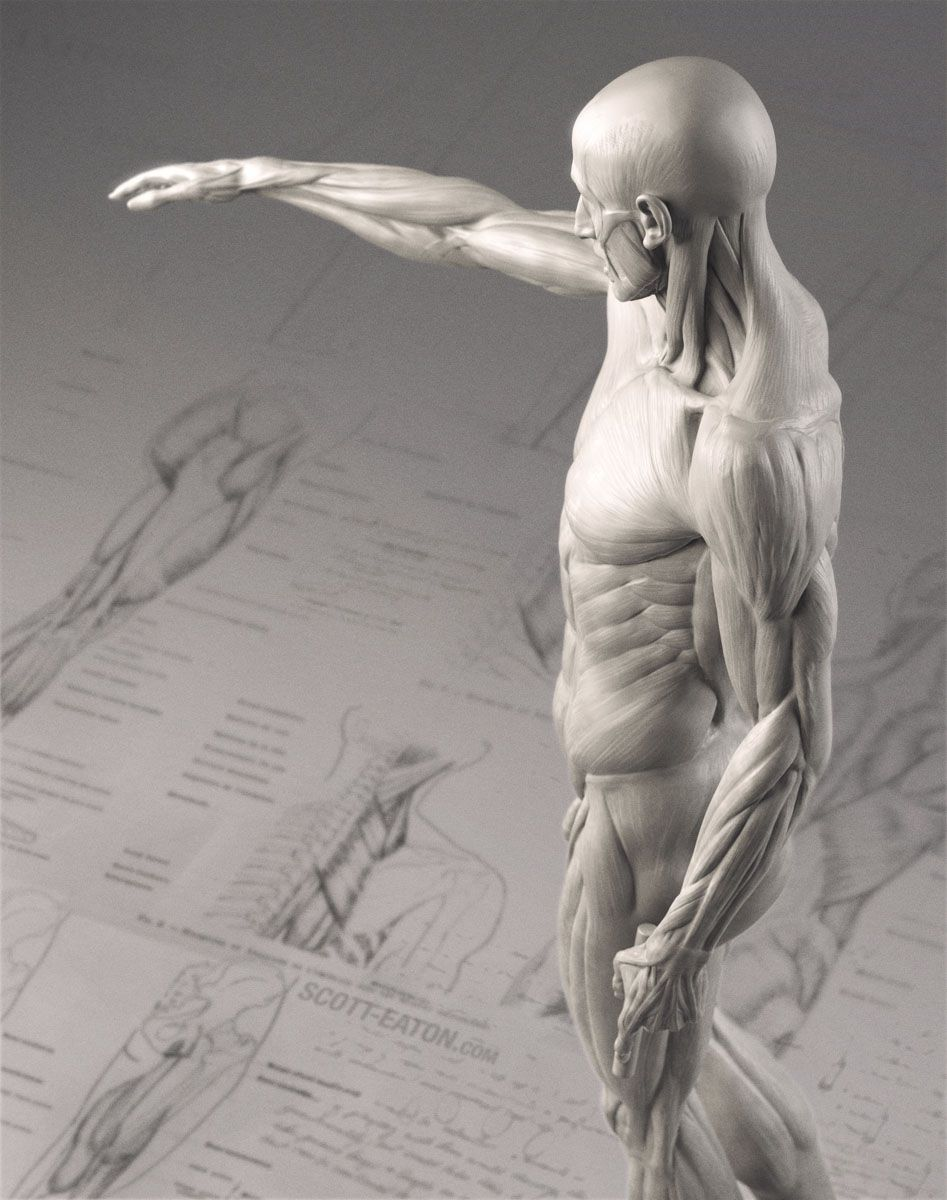 The Eaton Houdon Corch Is My Update Of The Classical Anatomy