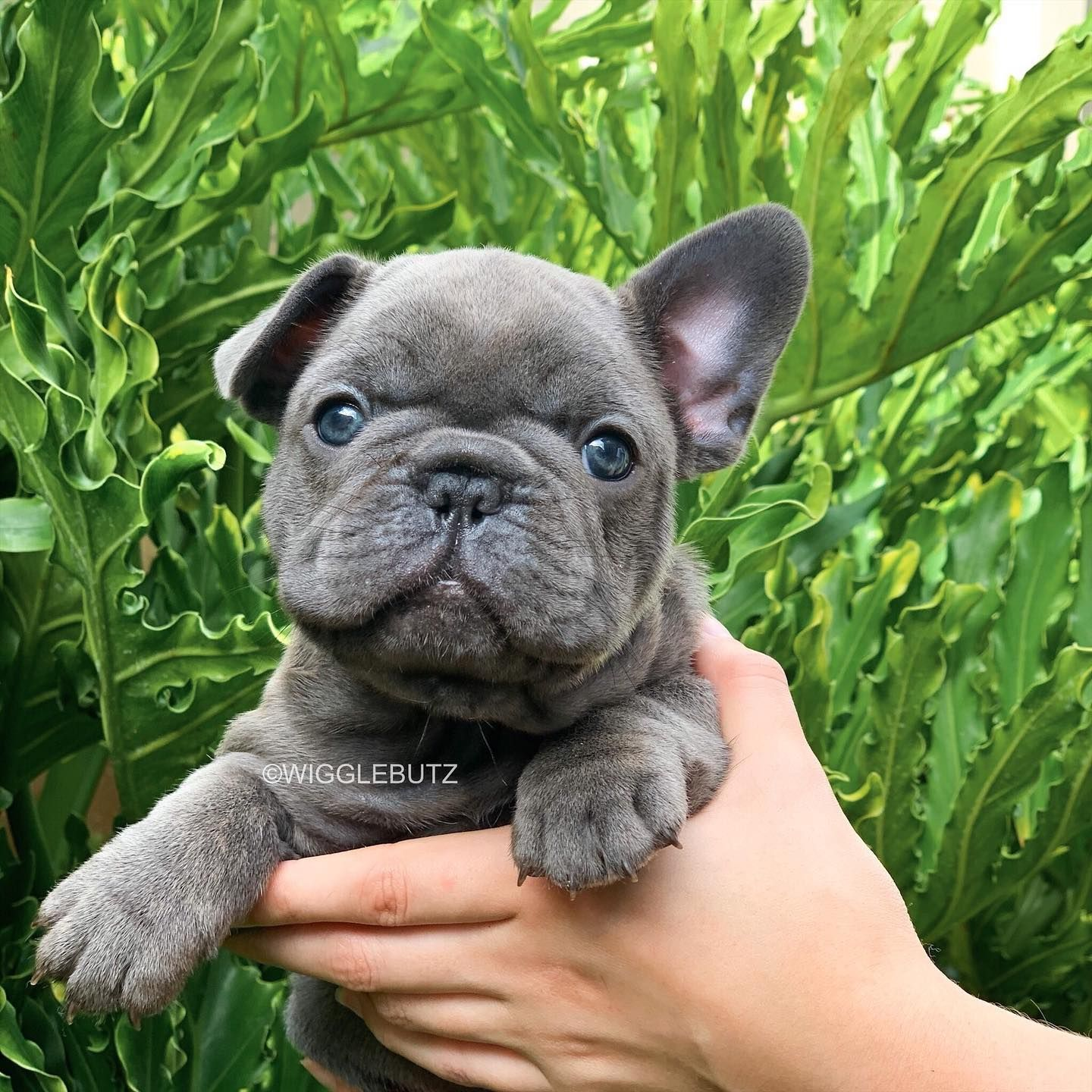 Our Beautiful Keeper Girl Bubbles Awaiting Color Dna To See If She S A Quad Carrier In 2020 French Bulldog Puppies French Bulldog Blue Blue French Bulldog Puppies