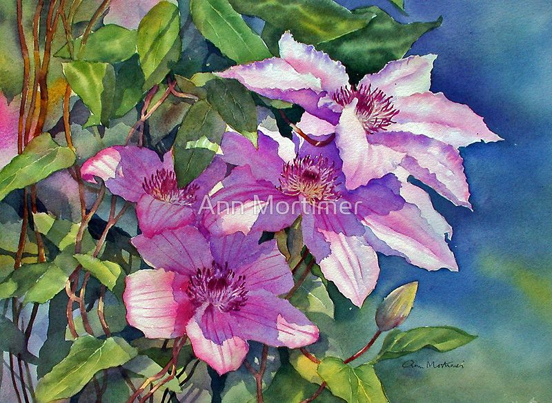 Watercolour 36×27cm Artists watercolours on Saunders Waterford 140lb cold pressed paper. / This clematis called Hagley Hybrid grows in our garden.  Last year was a particularly good year for it and I took a photo of it in the morning sun.  I wanted to catch the cast shadows and make the top flower look sunlit. • Buy this artwork on phone cases, home decor, stationery, and more.