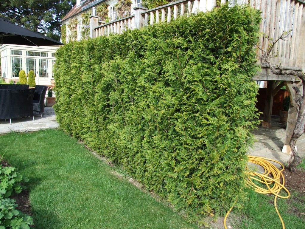 Landscaping Ideas For Cedar Trees : Privacy landscaping ideas topiary trees western red cedar