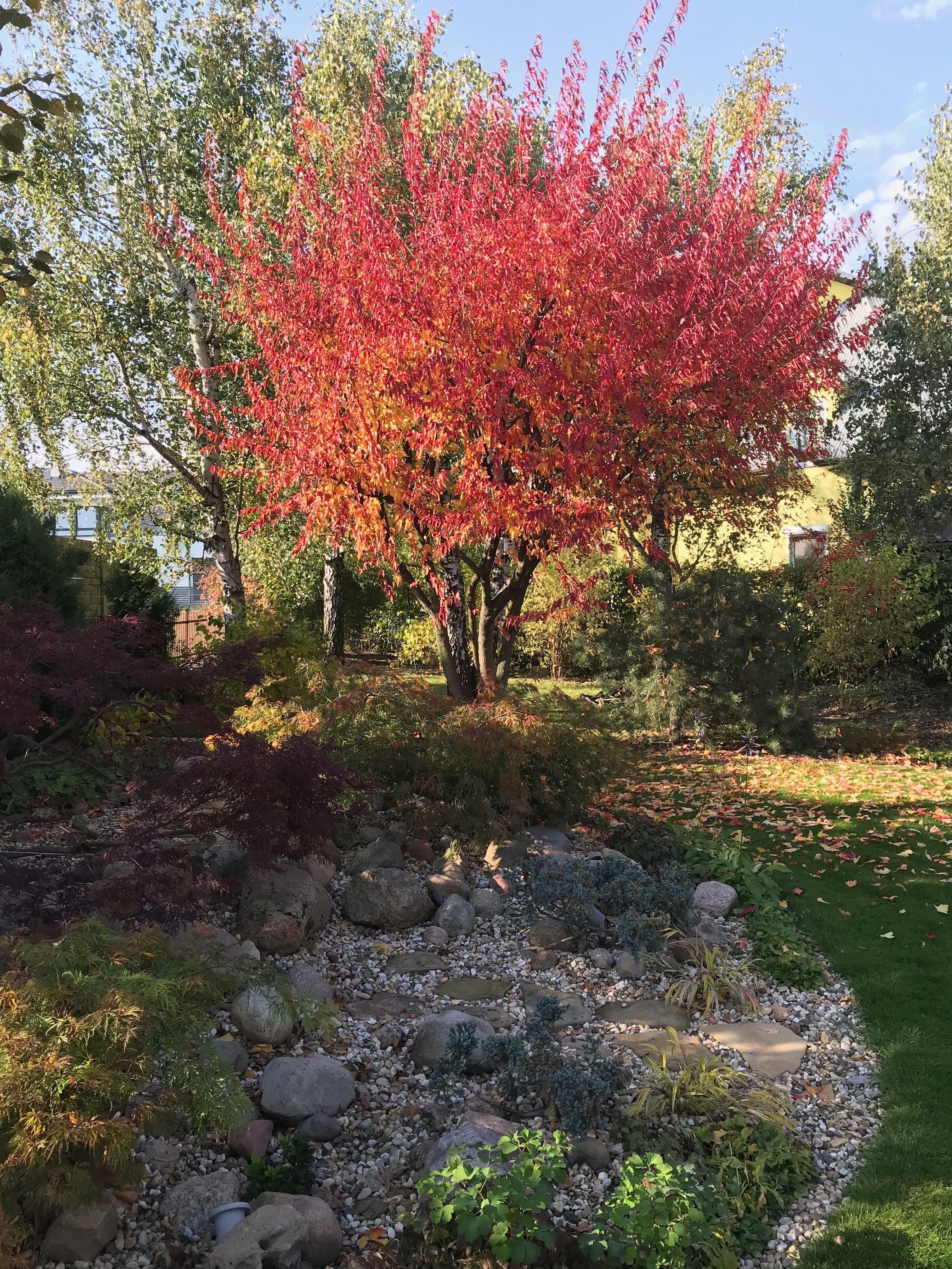 Klon Tatarski Jesienią Acer Tataricum Subsp Ginnala Garden