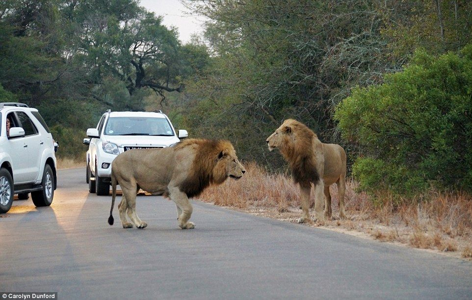 Two lions catch and feast on antelope in front of stunned