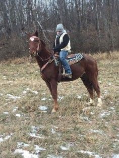 BOMB PROOF tennessee walking horse gelding for Sale in blairs mills