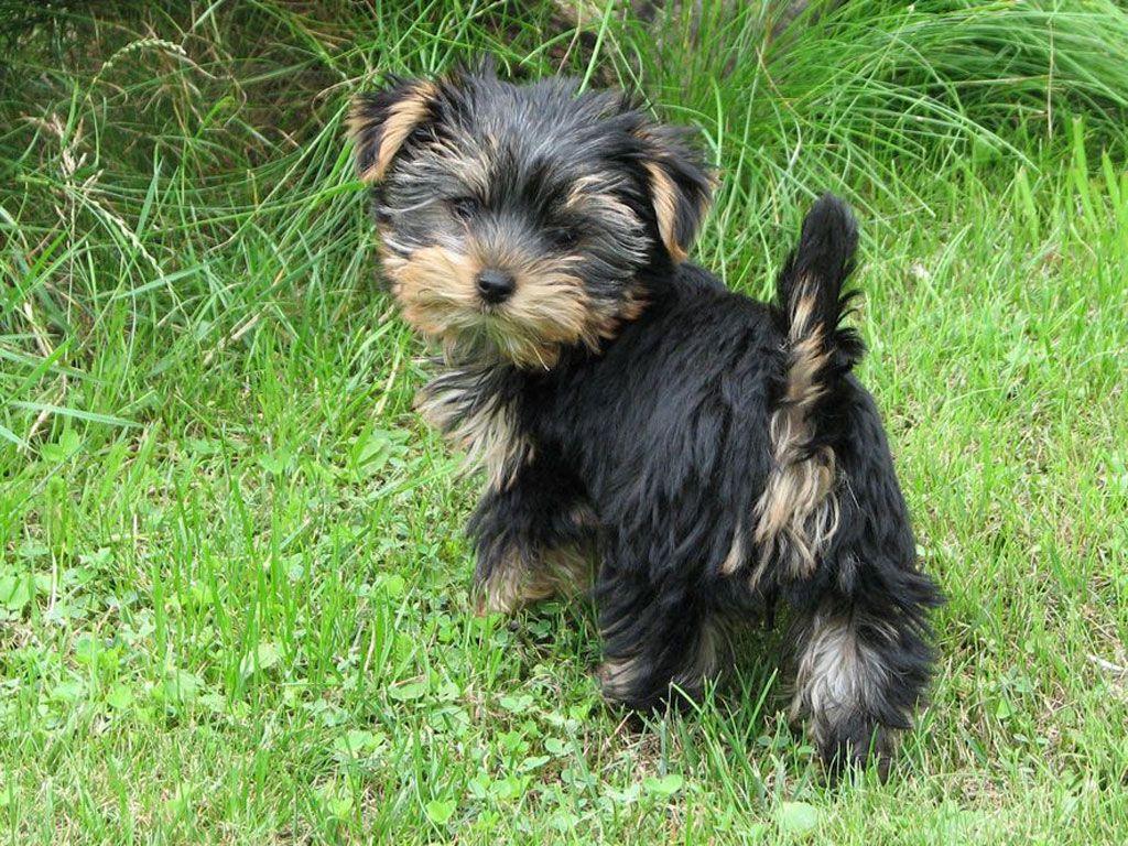Yorkshire Terrier Black Puppy Wallpaper Puppies Yorkshire Terrier Dog Yorkshire Terrier