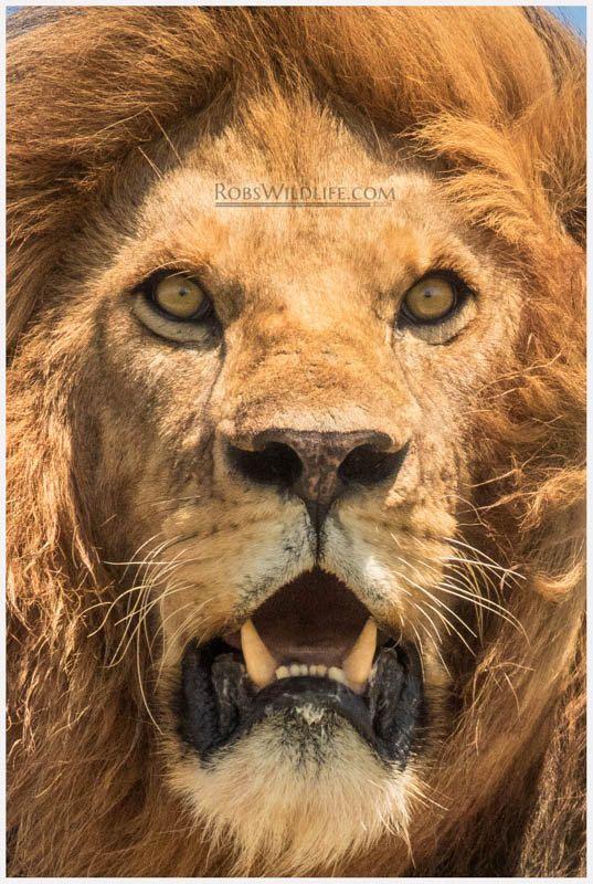 8k Animal Wallpaper Download: Lion Portrait Photography Print, Lion Face Photo, Lion