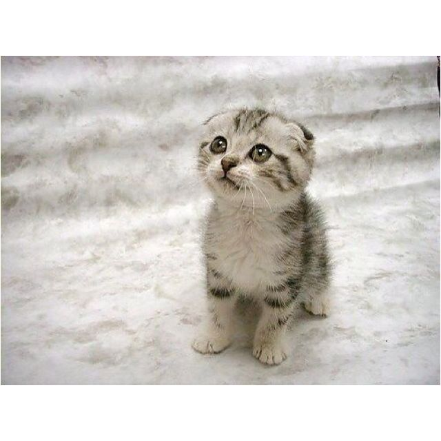 Scottish Fold kitten-I want one!