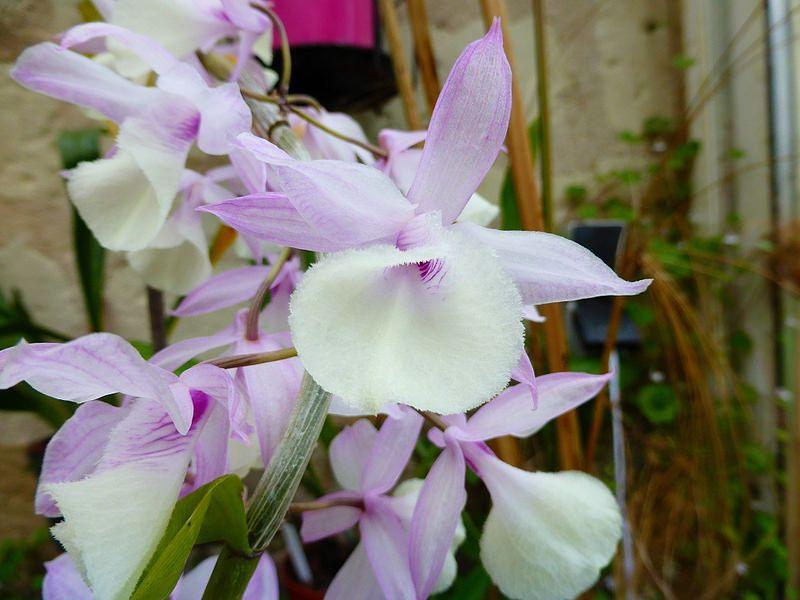 Dendrobium Aphyllum Par Gege Orchids Dendrobium Orchids Flowers
