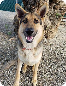 German Shepherd Dog Dog For Adoption In Lompoc California Eli