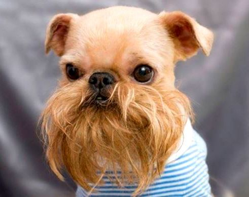 25 Pets with Hilarious Facial Hair | Dog bearding, Dog grooming ...