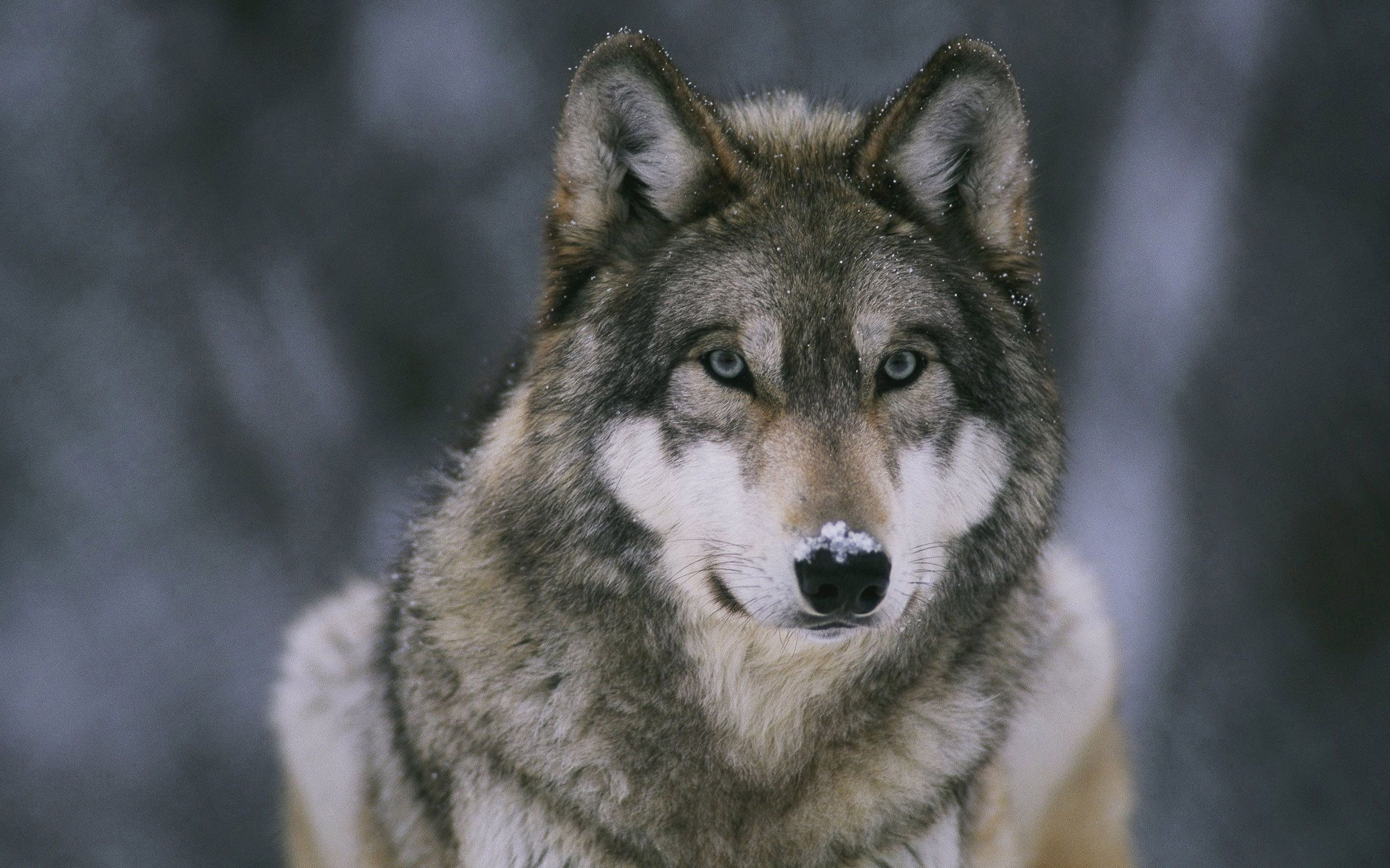Wolf Wallpapers Full HD wallpaper search Wolf dog