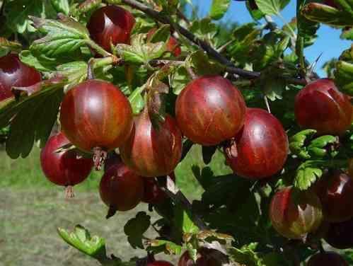 Rote Zuckerstachelbeere aus Rumänien