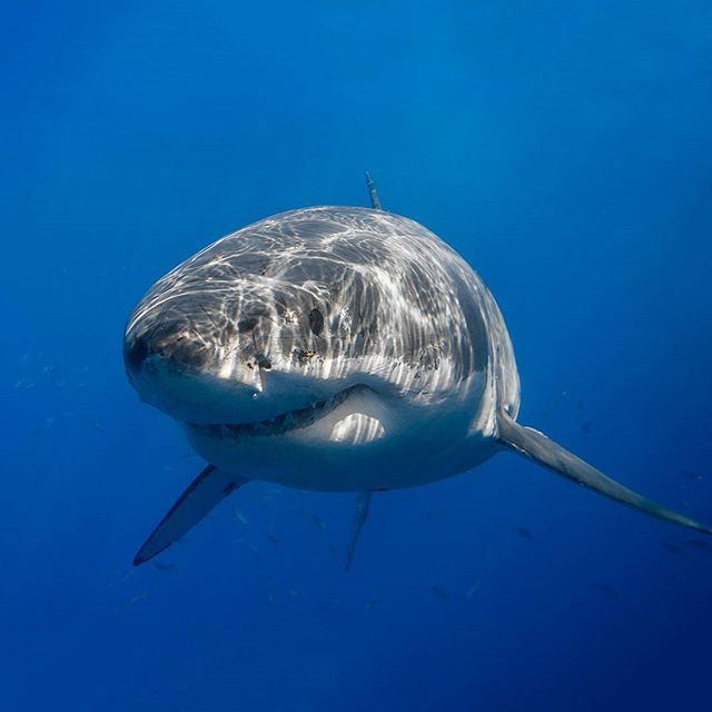 """""""Handsome devil"""" - The one and only Cal Ripfin (aka Shredder) Guadalupe's most well-known great white shark (Carcharodon carcharias). This shot of Cal was taken in 2011. Sadly he hasn't been since the 2011 season.  #greatwhiteshark #greatwhite #whiteshark #shark #nofilter #underwater #CalRipfin #Shredder by iphotographsharks"""