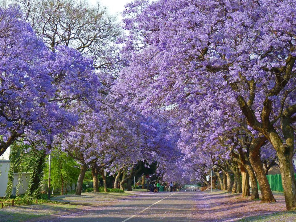 The 18 Most Beautiful Trees In The World Jacaranda Tree Famous Trees Tree