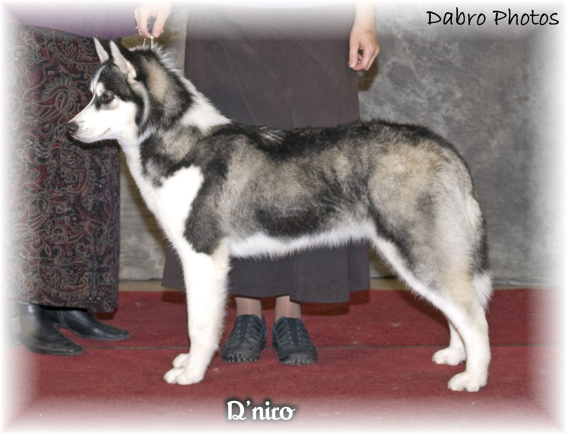 Siberian Husky Champion Husky Siberian Husky Wolf Malamute