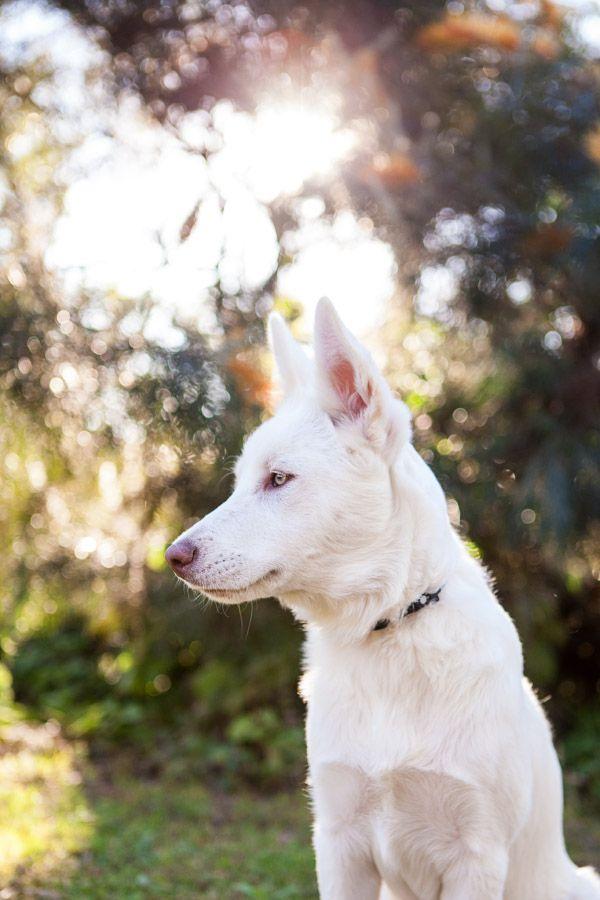 Pin On German Shepherd Dogs
