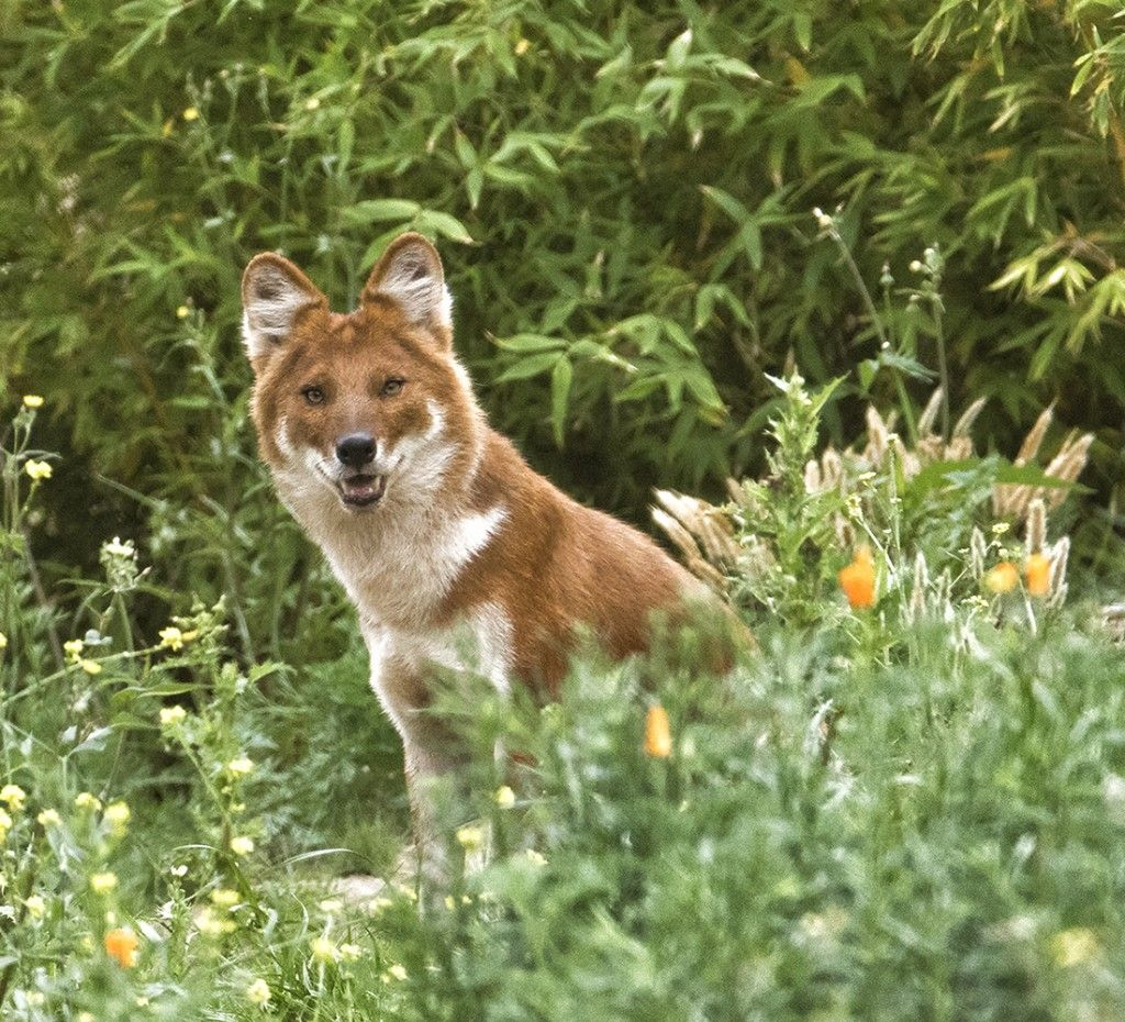 Dhole dads are highly committed to the family unit guarding the den