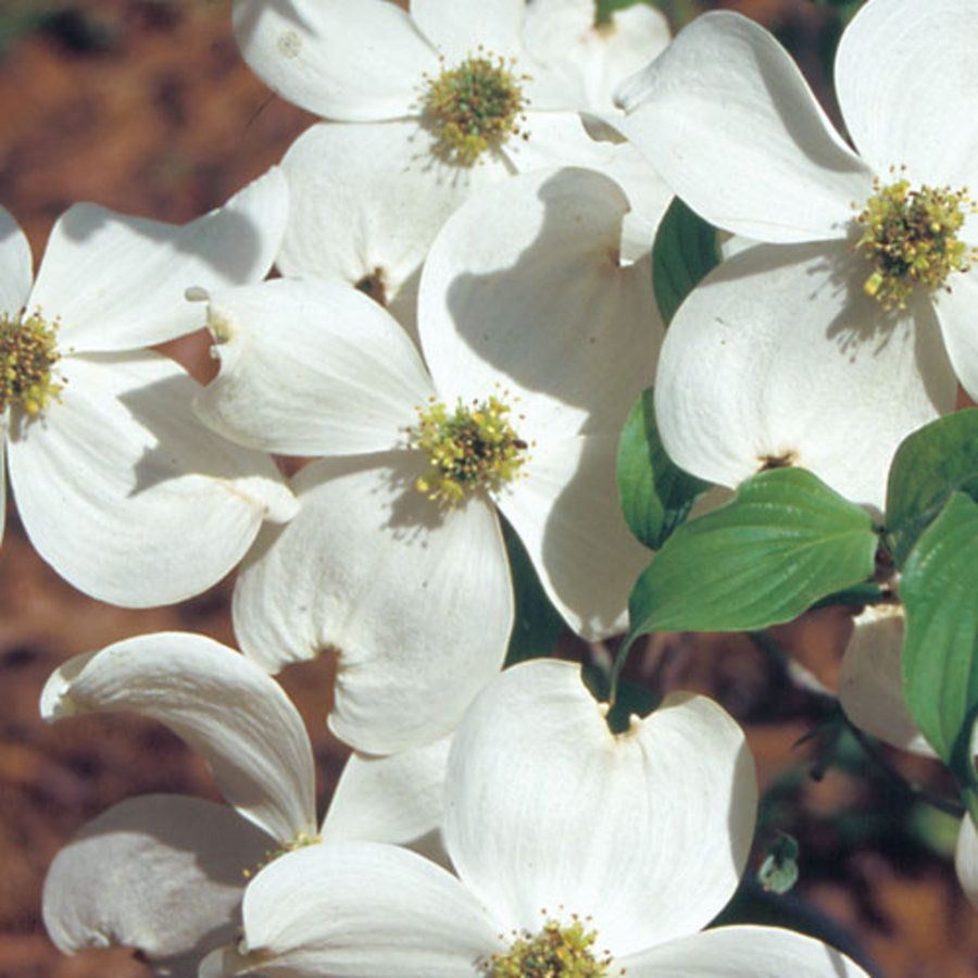 Appalachian Spring Cornus florida Dogwood Tree