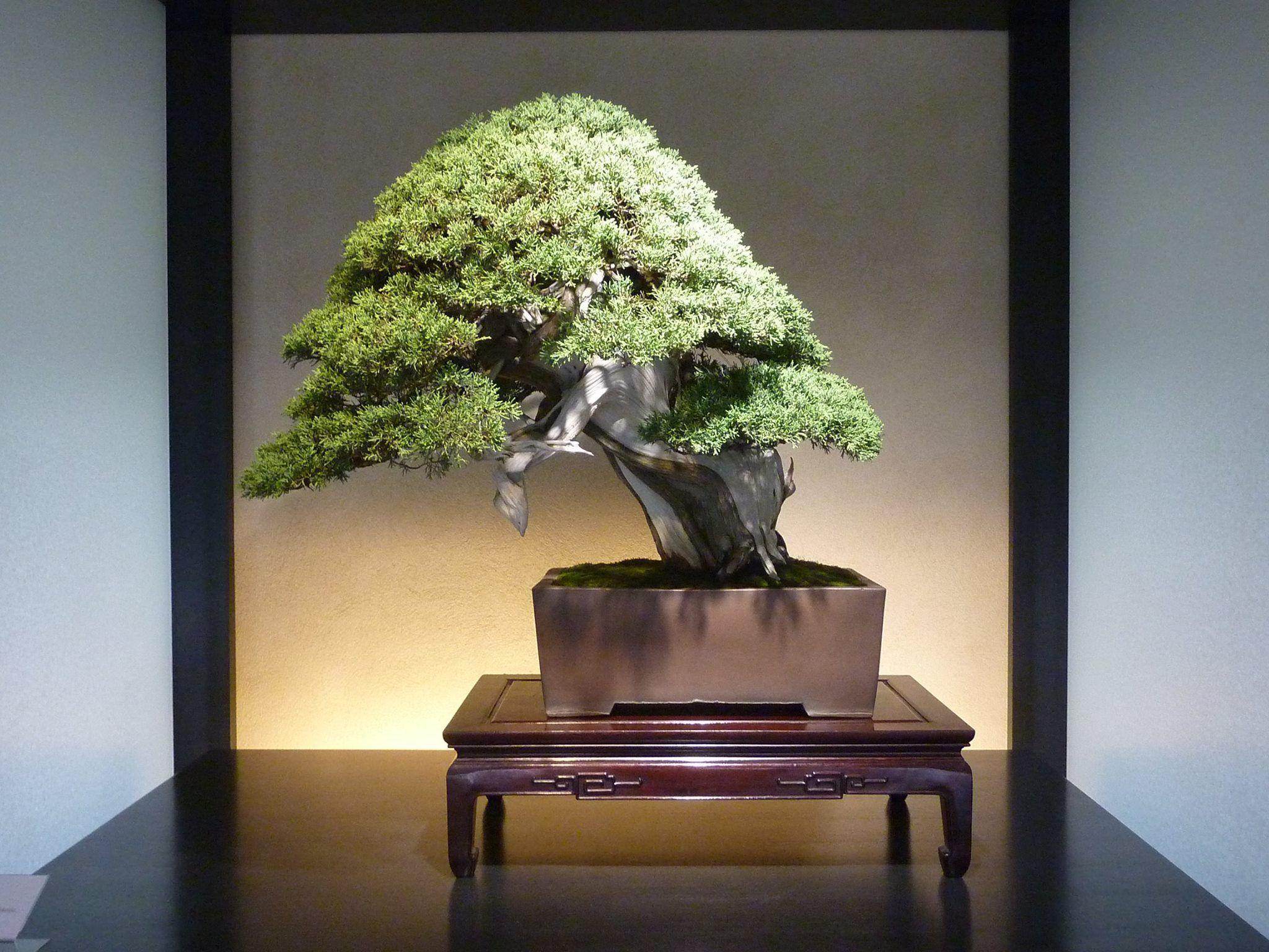 The Omiya Bonsai Art Museum, Saitama 真柏 Japanese Juniper