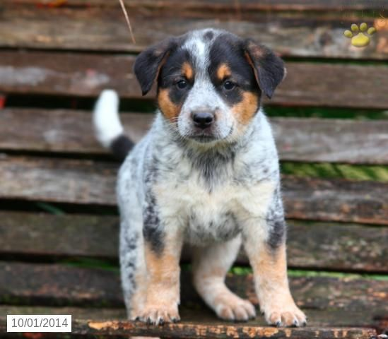 Sunflower Blue Heeler Puppy For Sale In Ronks Pa Blue Heeler Puppies Heeler Puppies Puppies
